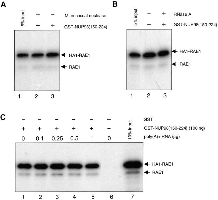 Poly(A) + RNA is not a cofactor in the binding reaction between RAE1 and the GLEBS-like motif of NUP98 in vitro. (A) Pull-down assay performed with GST-NUP98(150– 224) fusion protein purified from E . coli and [ 35 S]-methionine– labeled in vitro–translated HA1-RAE1 pretreated with or without Micrococcal nuclease. GST alone did not pull-down HA1-RAE1 (not shown). (B) As in A, but pretreated with or without RNase A. GST alone did not pull-down HA1-RAE1 (not shown). (C) Pull-down assay with GST-NUP98(150–224) and in vitro–translated HA1-RAE1 in the presence of various concentrations of poly(A) + RNA isolated from HtTA cells. GST alone does not pull-down HA1-RAE1, as indicated in lane 6.