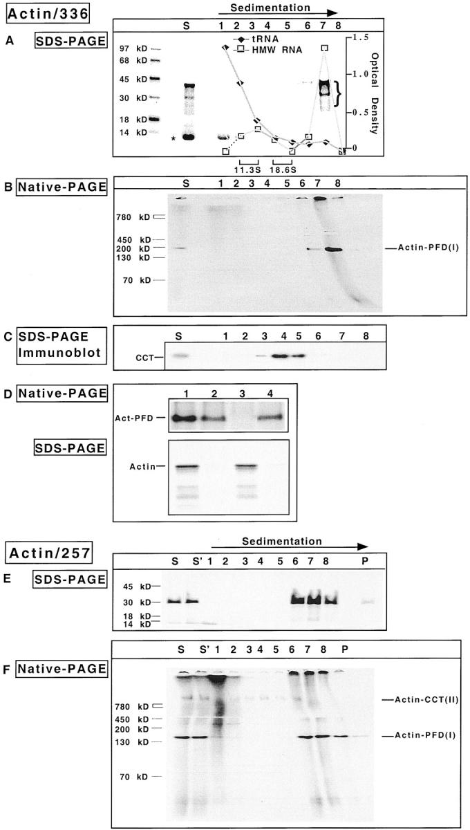 The actin–PFD complex forms cotranslationally. Reticulocyte lysate was programmed with mRNA encoding either a 336– or a 257–amino acid NH 2 -terminal fragment of actin. After 8 min, edeine and 7- Me GMP were added, and the reaction continued for an additional 9 min. Nascent chain–ribosome complexes were stabilized by addition of 0.5 mM cycloheximide, and polysomes isolated by gradient centrifugation. Aliquots from each fraction were incubated with puromycin to release nascent chains from the ribosome. (A and B) SDS-PAGE and native-PAGE analyses of the gradient fractions obtained from the 336–amino acid actin translation product. S denotes the starting material for the gradient. Shown are fluorograms of the gels with molecular mass markers on the left. The position of sedimentation of the standards catalase (11.3 S) and α2-macroglobulin (18.6 S) are indicated at the bottom of A. (C) The proteins in the starting material for the gradient and each of the gradient fractions were analyzed for their content of CCT by an immunoblot using anti-CCT antibodies. (D) The polysome-bound actin complex contains PFD. The purified polysomes shown in A and B (lane 7) were treated with puromycin and apyrase, and then incubated at 4°C for 30 min with immobilized preimmune antibody, immobilized PFD antibody, or DNase I coupled to Sepharose 4B. After clarification, the supernatant fractions from each of the reactions were analyzed by native-PAGE (top). The antibody beads were washed four times with PBS and the material retained by the beads was eluted by heating in Laemmli sample buffer, then analyzed by SDS-PAGE (bottom). The starting material is shown in lane 1; immobilized preimmune antibodies, lane 2; immobilized anti-PFD antibody, lane 3; immobilized DNase I, lane 4. The position of actin PFD is indicated on the left. (E and F) SDS-PAGE and native-PAGE analysis of the gradient fractions obtained from the 257–amino acid actin translation product, performed as in A and B. S denotes the starting material for the gradient which was immediately frozen while S′ denotes the starting material which was stored at 4°C during the centrifugation run.