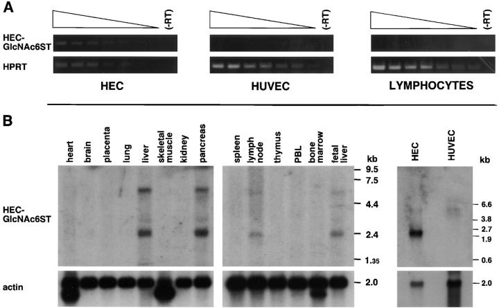 Expression of HEC-GlcNAc6ST transcripts in HECs. (A) Semiquantitative RT-PCR analysis. Fragments of the HEC-GlcNAc6ST and HPRT sequences were amplified by PCR from serial dilutions of cDNA prepared from purified HECs, HUVECs, and tonsillar lymphocytes. The reaction products (456 and 300 bp, respectively) were analyzed by agarose electrophoresis and ethidium bromide staining. −RT, PCR reactions in which the template was generated by omission of RT. (B) Northern blotting. Northern blots containing poly(A) + RNA from various human tissues (left and center) and from HECs and HUVECs (right) were probed with a 500-bp fragment from the HEC-GlcNAc6ST cDNA (top panels). The blots were stripped and reprobed with a 300-bp probe for β-act in (bottom panels).