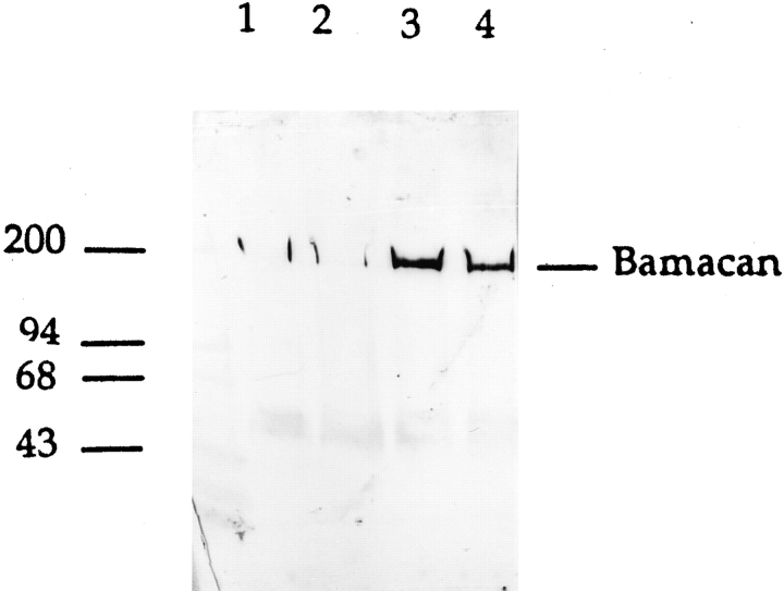 Western blot of total L2 proteoglycans probed with affinity-purified R664 polyclonal antibodies against a fusion protein prepared using clone F15a (see Fig. 1 ). The proteoglycans were untreated (lane 1 ) or pretreated with <t>heparinase</t> <t>III</t> (lanes 2 and 3 ) and/or chondroitinase ABC (lanes 3 and 4 ). A core protein is only clearly resolved after removal of chondroitin sulfate chains. The migration of molecular mass markers in kD is shown.