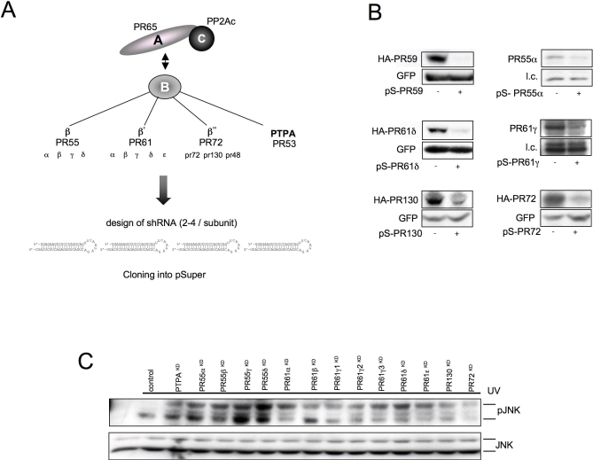 PP2A Family Screen (A) Schematic of the PP2A holoenzyme and outline of the B regulatory subunit families. (B) U2-OS cells were transfected with the indicated pSuper constructs and where available cotransfected with an HA-tagged version of the corresponding PP2A B subunit. Immunoblot panels show the efficiency of knockdown in six different pools as judged by the ability to knockdown cotransfected or endogenous protein (GFP is a transfection control). (C) U2-OS cells were cotransfected with pooled PP2A shRNAs or a control vector. Levels of phosphorylated JNK (α-pJNK) or JNK1 and JNK2 (α-JNK) were shown in cell lysates for the different samples 60 min after UV treatment of the cells. doi:10.1371/journal.pgen.0030218.g001