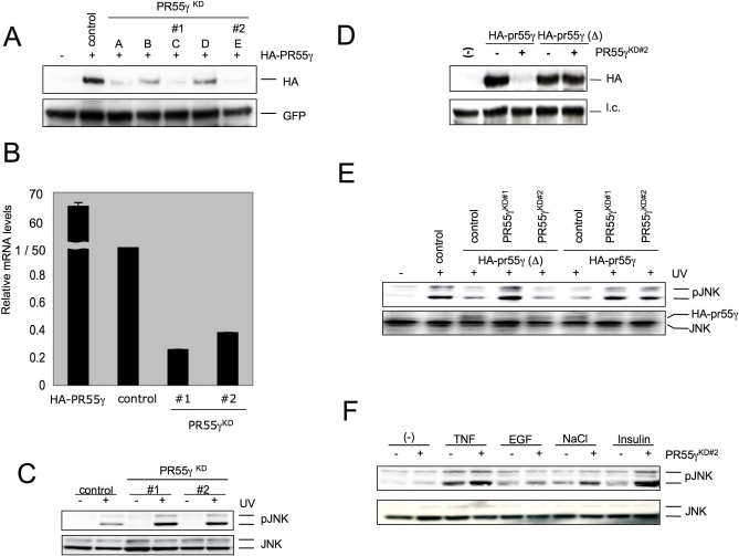 PR55γ Is a Regulator of JNK following UV Irradiation (A) U2-OS cells expressing pcDNA-HA-PR55γ were cotransfected with the pooled knockdown (PR55γ KD ) vectors as indicated (A–E) or a control vector. GFP expression serves as a measure of transfection consistency. (B) U2-OS cells were cotransfected with PR55γ KD vectors #1 or #2, pcDNA-PR55γ serves as a positive control. pSuper vector targeting a mouse PP2A subunit PR59 served as an shRNA control. mRNA levels relative to the control are shown as evaluated by quantitative real-time PCR. (C) U2-OS cells were cotransfected with PR55γ KD vectors as indicated (#1 or #2) or control vector. Selected cells were exposed to UV irradiation (100 J/m 2 ) and incubated for a further 60 min. Protein samples were analyzed by immunoblotting with antibodies targeting phosphorylated JNK (α-pJNK) or JNK1 and JNK2 (α-JNK). (D) U2-OS cells expressing pcDNA-HA-PR55γ or pcDNA-HA-PR55γ (Δ) were cotransfected with PR55γ KD vector #2. Protein samples were analyzed by immunoblotting with antibodies targeting HA. (E) U2-OS cells expressing pcDNA-HA-PR55γ, pcDNA-HA- PR55γ(Δ), or a control vector were cotransfected with PR55γ KD vectors #1 or #2. A pSuper vector targeting a mouse PP2A subunit PR59 served as an shRNA control. Selected cells were exposed to UV irradiation (100 J/m 2 ) and incubated for a further 60 min. Protein samples were analyzed by immunoblotting with antibodies targeting phosphorylated JNK (α- pJNK), total JNK (α-JNK), or haemoglutinin (α-HA, reprobe). (F) U2-OS cells expressing PR55γ KD2 vector or a control vector exposed to TNF-α, EGF, NaCl, or insulin for 5 min and incubated for a further 30–60 minutes. pJNK relative to total JNK levels are shown. doi:10.1371/journal.pgen.0030218.g002