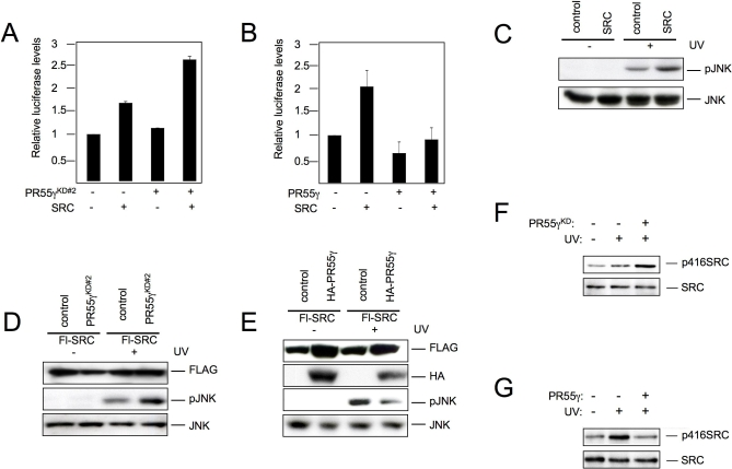 PR55γ Regulates c-SRC-Induced JNK Activation (A) U2-OS cells expressing a 5× AP1-luciferase construct (pGL2), pSUPER-PR55γ, or pcDNA-c-SRC as indicated. Luciferase counts are shown relative to the control. (B) U2-OS cells expressing a 5× AP1-luciferase construct (pGL2), pcDNA-HA-PR55γ, or pcDNA-c-SRC as indicated. Luciferase counts are shown relative to the control. (C) U2-OS cells were transfected with FLAG-SRC or a control vector and treated with UV. Whole cell extracts were probed with the indicated antibodies. (D) U2-OS cells were cotransfected with FLAG-SRC, pSUPER-PR55γ, or a control vector and treated with UV. Whole cell extracts were probed with the indicated antibodies. (E) U2-OS cells were cotransfected with FLAG-SRC, pcDNA-HA-PR55γ, or a empty vector and treated with UV. Whole cell extracts were probed with the indicated antibodies. (F) U2-OS cells expressing pcDNA-HA-hairpins targeting PR55γ or a control vector, and pcDNA-c-SRC were serum starved for 48 h and treated with UV irradiation for 30 min. Cells were lysed in ELB and equivalent amounts of protein were immunoprecipitated with a c-SRC specific antibody. c-SRC phosphorylation was detected with an antibody targeting phosphorylated tyrosine 416 (α-pTyr 416 ) and immunoprecipitated c-SRC was detected with an α-c-SRC antibody. (G) U2-OS cells expressing pcDNA-HA-PR55γ or a control vector and pcDNA-c-SRC were serum starved for 48 h and treated with UV irradiation for 30 min. Cells were lysed in ELB and equivalent amounts of protein were immunoprecipitated with a c-SRC specific antibody. c-SRC phosphorylation was detected with an antibody targeting phosphorylated tyrosine 416 (α-pTyr 416 ) and immunoprecipitated c-SRC was detected with an α-c-SRC antibody. doi:10.1371/journal.pgen.0030218.g006