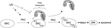 Model for the Regulation of c-SRC-Induced JNK Activation following UV Signaling by PP2A Complexes doi:10.1371/journal.pgen.0030218.g009
