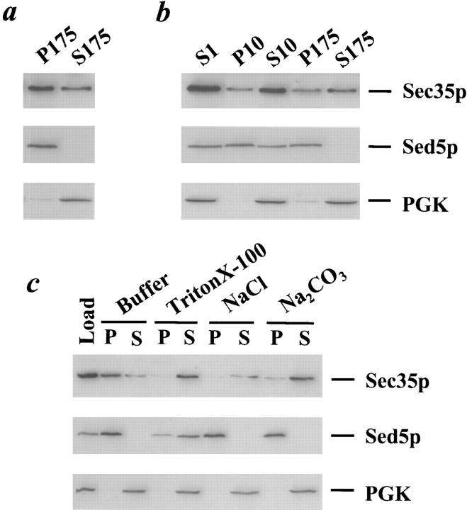 Sec35p is a peripheral membrane protein. ( a ) Sec35p partitions into soluble and membrane-associated pools. A wild-type strain was grown to logarithmic phase, lysed with glass beads, and then centrifuged at 1,000 g for 3 min to generate the S1 supernatant fraction. The S1 supernatant was centrifuged at 175,000 g to obtain the S175 supernatant and P175 pellet fractions. ( b ) The membrane-associated portion of Sec35p fractionates similarly to the Golgi protein, <t>Sed5p.</t> The S1 supernatant was centrifuged at 10,000 g to generate the S10 supernatant and P10 pellet fractions, and the S10 was subsequently centrifuged at 175,000 g to obtain the S175 supernatant and P175 pellet fractions. ( c ) Sec35p behaves as a peripheral membrane protein. The S1 supernatant was incubated with buffer 88, 1% Triton X-100, 1 M NaCl, or 100 mM Na 2 CO 3 , pH 11, centrifuged at 175,000 g , and separated into supernatant and pellet fractions. ( a–c ) Aliquots of each fraction were separated by SDS-12%PAGE and immunoblotted with affinity-purified anti-Sec35p ( top panel ), anti-Sed5p ( center panel ), or <t>anti-PGK</t> ( bottom panel ) antibodies. The samples loaded in each lane were derived from equivalent amounts of starting material.