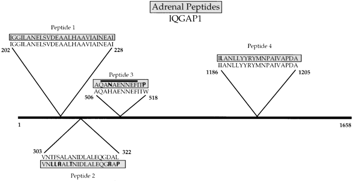 The 190-kD polypeptide is equivalent to IQGAP1. The 190-kD polypeptide was purified in denatured form by preparative SDS-PAGE, electroeluted from the gel, and digested in solution with <t>endoproteinase</t> lys C. Four peptides were purified by HPLC and sequenced. Comparison of the peptide sequences with the GenBank/EMBL/DDBJ data bank indicated high identity of the bovine adrenal protein with human IQGAP1, a 1,658–amino acid residue protein that contains four potential calmodulin-binding IQ domains, and a region homologous to catalytic domains of GAPs ( 40 ). Sequences corresponding to peptides 1 and 4 are also found in human IQGAP2, a protein which is 62% identical to IQGAP1, but is reportedly abundant only in liver ( 8 ). A 9-mer peptide corresponding to the highlighted residues within peptide 3 was used as an immunogen for the production of an anti-IQGAP1 antibody.