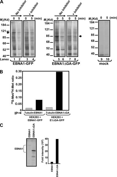 EBNA1 and EBNA1ΔGA translation efficiency and rapidly degrading polypeptides. (A) Detection of EBNA1 rapidly degrading polypeptides. HeLa cells treated with 50 μM of both MG132 and lactacystin during the final 30 min of a 60-min starvation in Met-free media were radiolabeled for 2 min and chased for 5 min. EBNA1-GFP immunoprecipitates were subjected to SDS-PAGE and autoradiograpy. Mol wt markers in kD are shown on the left. Arrows indicate full-length EBNA1-GFP and EBNA1ΔGA-GFP. (B) Measurement of EBNA1 synthesis. HEK293 cells transfected with either EBNA1-GFP or EBNA1ΔGA-GFP were metabolically labeled for 12–14 h in growth medium containing 20 μCi/ml of [ 3 H]methionine followed by a 30-min pulse with 100 μCi of [ 35 S]methionine. Cells were lysed and immunoprecipitated with either anti-GFP or antitubulin. Quantitation of EBNA1-GFP, EBNA1ΔGA-GFP, or tubulin synthesis was determined by measuring the [ 35 S] to [ 3 H] ratio for each protein by liquid scintillation counting. (C) In vitro translation assay of EBNA1 and EBNA1ΔGA. pcDNA3.1 expression constructs encoding either EBNA1 or EBNA1ΔGA were transcribed and translated in vitro with T7 RNA polymerase using a coupled transcription–translation reticulocyte lysate system supplemented with [ 35 S]methionine. Band intensities were quantified by densitometric analysis of the imaging data and graphed.
