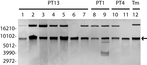 Plasmid profiles for S . Enteritidis strains used in this study. Preparations were not digested with restriction endonuclease. Lanes 1–7: S . Enteritidis PT13 strains 04-6191, 04-6387, 04-7505, 05-6746, 05-0513, 05-1219 and 05-6733 respectively. Lanes 8 and 9: S . Enteritidis PT1 strains 06-1230 and 06-1751. Lanes 10 and 11: S . Enteritidis PT4 strains 06-1216 and 06-1231. Lane 12: plasmid extracted from S . Typhimurium LT2. Supercoiled DNA ladder molecular weights are to the left of lane 1. Arrow indicates a chromosomal DNA fragment.