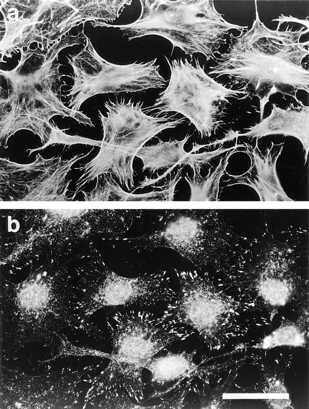 Recombinant Rho stimulates formation of focal adhesions and stress fibers in permeabilized cells. Cells were permeabilized (protocol 1) in the presence of 1 μM recombinant V14Rho. ( a ) Phalloidin staining for F-actin; ( b ) monoclonal antibody against vinculin. Bar, 30 μm.