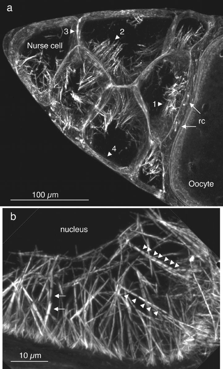 Portions of wild-type stage 10B egg chambers stained with rhodamine-conjugated phalloidin and examined by confocal microscopy. ( a ) Cortical actin staining outlines 7 of the 15 nurse cells ( left ) and the anterior portion of the oocyte ( right ). Two ring canals ( rc ) that connect the oocyte to the nurse cells are also indicated ( arrows ). The nurse cells contain prominent arrays of actin bundles extending from the plasma membrane toward the nucleus (dark regions within the nurse cells). These cables are located on plasma membranes adjacent to the oocyte ( 1 ), adjacent to other nurse cells with a common ring canal ( 2 ), adjacent to other nurse cells without a ring canal connection ( 3 ), and adjacent to follicle cells surrounding the egg chamber ( 4 ). The densities of these cables along the nurse cell plasma membrane are indicated in Table I . This is a 14-μm optical section. ( b ) The actin cables originate from the plasma membrane and extend toward and outline the nucleus (dark region). The striated actin cables exhibit gaps at low ( leftward arrows ), medium ( upward arrowheads ), and high ( downward arrowheads ) frequencies. In addition, the F-actin staining intensity in the gaps between the striations is often well above background. Also, the fluorescent intensity of adjacent modules in the same cable can be quite different ( leftward arrows ) and probably reflects the presence of overlapping actin bundles. The oocyte (not shown) of this egg chamber is connected to this nurse cell. This is a 6-μm optical section. Bars: ( a ) = 100 μm; ( b ) 10 μm.