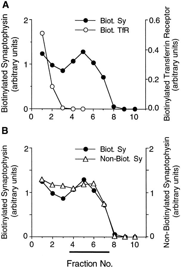 Biotinylated synaptophysin is sorted to SLMVs. PC12 cells were incubated with sulfo-NHS-LC–biotin for 5 min at 37°C and chased for 180 min at 37°C. The 12,000- g supernatant prepared from the cells was subjected to glycerol gradient centrifugation, and the fractions ( n 1 , bottom ) were analyzed for biotinylated ( A and B , closed circles , same data points for both panels) and nonbiotinylated ( B , open triangles ) synaptophysin and biotinylated transferrin receptor ( A , open circles ) by streptavidin–agarose adsorption followed by immunoblotting of bound and unbound material with the respective antibodies. Bar, SLMVs.