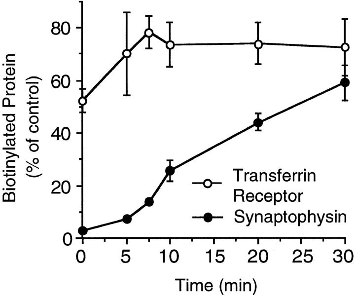 Kinetics of the acquisition of MesNa inaccessibility. PC12 cells were incubated with sulfo-NHS-SS– biotin for 2 min at 37°C, chased for the indicated times at 37°C, and incubated at 4°C in the absence (controls, 0 and 30 min chase only) or presence of MesNa. Synaptophysin and transferrin receptor in the cell lysates were analyzed for binding to streptavidin–agarose by immunoblotting of bound and unbound material with the respective antibodies. Synaptophysin and transferrin receptor bound to streptavidin–agarose were calculated as percentage of total (sum of streptavidin-bound plus streptavidinunbound synaptophysin and transferrin receptor, respectively) and are expressed as percentage of control (mean of the control values at 0 and 30 min of chase, which were very similar to each other). Data are the mean of two independent experiments; bars indicate the variation of the individual values from the mean and, for some time points, are within the size of the symbol. In the control, 4.2 ± 0.3% and 11.0 ± 1.3% of the total synaptophysin and transferrin receptor were biotinylated, respectively.