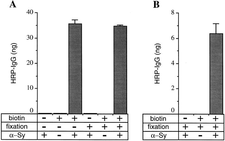 Synaptophysin biotinylated at 18°C is quantitatively extracted from paraformaldehyde-fixed PC12 cells by Triton X-100 ( A ) and is accessible to anti-synaptophysin after digitonin permeabilization of fixed cells ( B ). ( A ) PC12 cells were incubated without (−) or with (+) sulfo-NHS-LC–biotin for 30 min at 18°C, chased for 5 min at 18°C in the presence of glycine, and fixed (+) or not fixed (−), and Triton X-100 extracts were subjected to streptavidin–agarose adsorption. Specific immunoreactivity due to the binding of biotinylated synaptophysin to streptavidin–agarose was determined by incubating the beads without (−) or with (+) anti-synaptophysin antibody ( α-Sy ) followed by HRP-conjugated goat anti–mouse IgG antibody. Data are the mean of values obtained from three coverslips; bars indicate SD. ( B ) PC12 cells were incubated without (−) or with (+) sulfo-NHS-LC– biotin for 30 min at 18°C, chased for 5 min at 18°C in the presence of glycine, fixed, permeabilized with digitonin, incubated without (−) or with (+) anti-synaptophysin ( α-Sy ), and extracted with Triton X-100. The Triton extracts were subjected to streptavidin– agarose adsorption, and anti-synaptophysin bound to the beads via biotinylated synaptophysin was detected by HRP-conjugated goat anti–mouse IgG antibody. Data are the mean of values obtained from three coverslips; bars indicate SD. The lower synaptophysin immunoreactivity in B than A (compare ordinate scales) presumably reflects incomplete accessibility of the anti-synaptophysin to its epitope when added to digitonin-permeabilized fixed cells as compared with anti-synaptophysin addition after Triton X-100 extraction of synaptophysin and its adsorption to streptavidin–agarose beads.