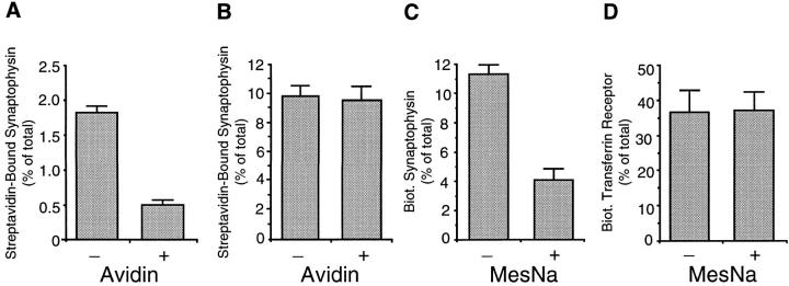 Differential sensitivity to extracellular probes of synaptophysin and transferrin receptor biotinylated at 18°C. PC12 cells were incubated with sulfo-NHS-LC– biotin ( A and B ) or sulfoNHS-SS–biotin ( C and D ) for 60 min at 4°C ( A ) or for 30 min at 18°C ( B–D ), chased for 5 min at 18°C in the presence of glycine ( B–D ) or not chased ( A ), and incubated at 4°C in the absence (−) or presence (+) of extracellularly added avidin ( A and B ) or MesNa ( C and D ). Synaptophysin and transferrin receptor in the postnuclear supernatants were analyzed for binding to <t>streptavidin–agarose</t> by immunoblotting of bound and unbound material with the respective antibodies. Streptavidin-bound biotinylated synaptophysin and transferrin receptor present in the postnuclear supernatant is expressed as percentage of total (sum of streptavidin-bound and streptavidin-unbound synaptophysin and transferrin receptor, respectively). ( A ) Data are the mean of two independent experiments; bars indicate the variation of the individual values from the mean. ( B–D ) Data are the mean of three independent experiments; bars indicate SD.