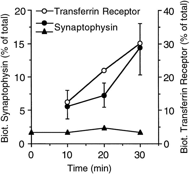 Time course of accumulation of biotinylated synaptophysin and transferrin receptor at 18°C. PC12 cells were incubated with ( open and closed circles ) or without ( closed triangles ) sulfo-NHS-LC–biotin at 18°C for the indicated times. The cells incubated without sulfoNHS-LC–biotin at 18°C were subsequently biotinylated for 30 min at 4°C ( closed triangles ). Postnuclear supernatants prepared from the cells were analyzed for biotinylated and nonbiotinylated synaptophysin and transferrin receptor by streptavidin– agarose adsorption, followed by immunoblotting of bound and unbound material with the respective antibodies. Biotinylated synaptophysin and transferrin receptor is expressed as percent of total (sum of biotinylated plus nonbiotinylated synaptophysin and transferrin receptor, respectively). Data points without error bars represent single determinations. Data points with error bars represent the mean of three ( transferrin receptor ), four ( synaptophysin at 10 and 30 min), or two ( synaptophysin at 20 min) independent determinations; bars indicate SD or the variation of the individual values from the mean.