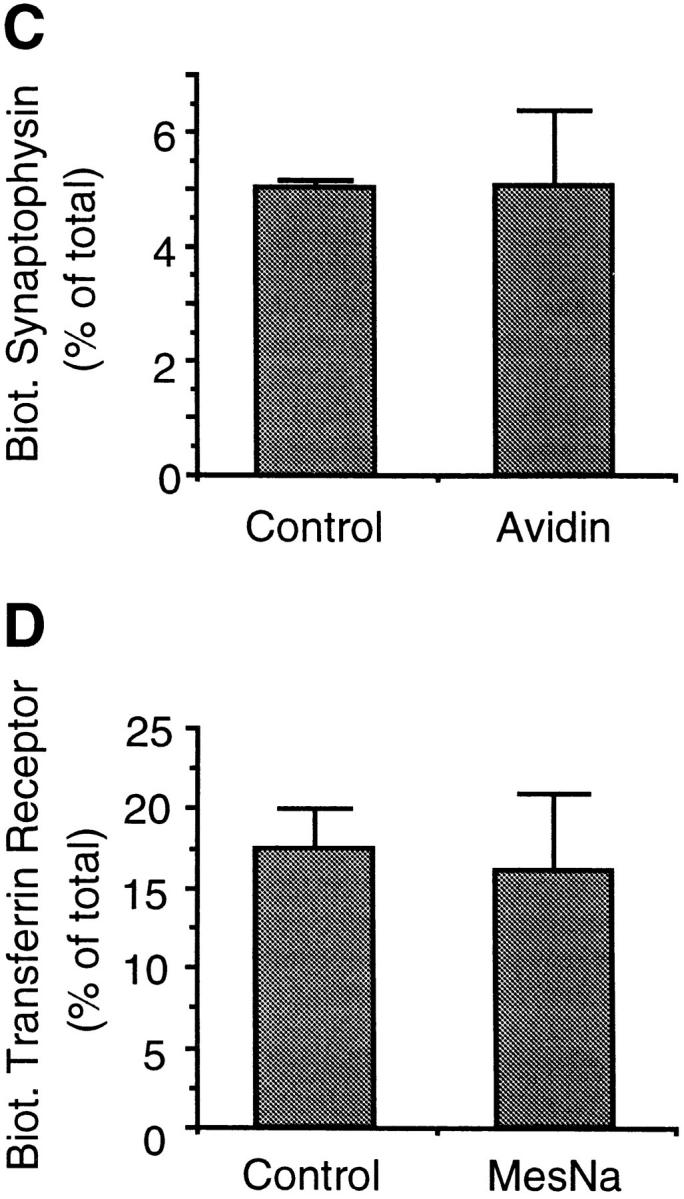 SLMVs originate from an avidin-protected, MesNa-accessible compartment at 37°C. PC12 cells were incubated with sulfoNHS-SS–biotin for 2 min at 37°C, chased for 10 min at 37°C, and incubated at 4°C in the absence ( Control ) or presence of extracellularly added MesNa ( A , B , and D ) or avidin ( C ). The 66,000 g pellets and supernatants were prepared from the cells and the supernatants subjected to glycerol gradient centrifugation. Synaptophysin in the glycerol gradient fractions ( A ) and transferrin receptor and synaptophysin in the 66,000 g pellets ( B–D ) were analyzed for binding to streptavidin– agarose by immunoblotting of bound and unbound material with the respective antibodies. ( A ) A representative experiment showing biotinylated synaptophysin in the glycerol gradient fractions. ( B–D ) Biotinylated synaptophysin ( B and C ) and transferrin receptor ( D ) in the 66,000 g pellet is expressed as percent of total (sum of streptavidin-bound plus streptavidin-unbound synaptophysin and transferrin receptor, respectively, present in the sum of 66,000 g pellet plus supernatant). Data are the mean of four ( MesNa ) or two ( Avidin ) independent experiments; bars indicate SD or the variation of the individual values from the mean.