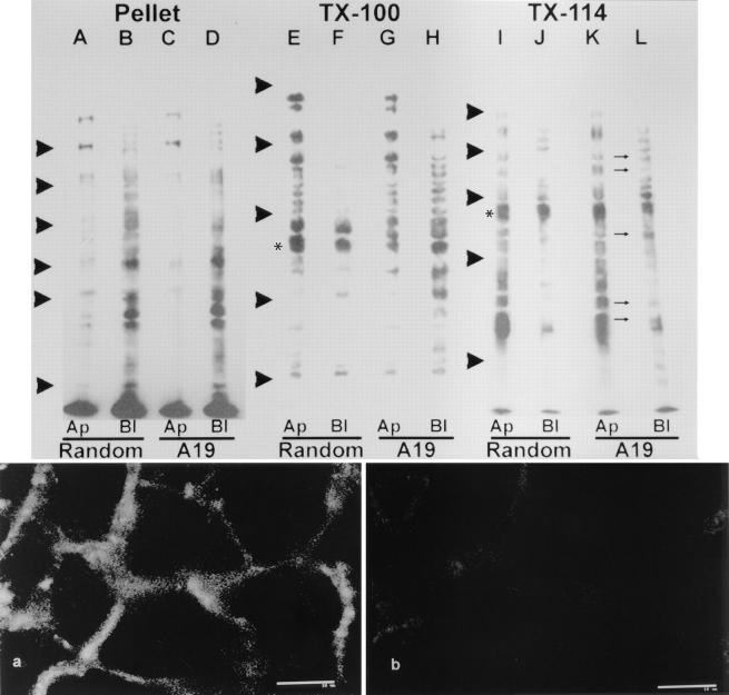 Effect of antisense A19 oligonucleotide on the polarity of plasma membrane proteins in CACO-2 cells C2BBe1. The cells were continuously grown in random (lanes A , B , E , F , I , and J ; control) or antisense A19 (lanes C , D , G , H , K , and L ) oligonucleotides. For these experiments, the cells were plated on 24-mm Transwell TM filters and cultured at confluency for 9 d. The monolayers were biotinylated from either the apical side (lanes A , C , E , G , I , K ; Ap ) or from the basolateral side (lanes B , D , F , H , J , L ; Bl ). Then, the filters were extracted in ice-cold PBS-EDTA supplemented with 2% Triton X-114. The supernatant of this extraction was warmed to 30°C for 3 min, and the detergent phase was acetone precipitated and run in SDS-PAGE (lanes I–L ; TX-114 ). The pellets from the TX-114 extraction were then resuspended in PBS-EDTA, 1% Triton X-100 by sonication, and warmed up to 37°C for 15 min. The supernatants (lanes E–H ; TX-100 ) and pellets (lanes A–D ; Pellet ) of this second extraction were also run in SDS-PAGE. In all cases the total amount of protein was measured to ensure that all lanes for a given extraction procedure were seeded with the same amounts of cellular material. All the lanes were blotted onto nitrocellulose sheets and probed with streptavidin–peroxidase and a chemiluminescence reaction. The small arrows between K and L point at apical bands now appearing also in the basolateral labeled set of proteins. The arrowheads indicate the position of molecular weight standards: (lanes A–D ) 193, 112, 86, 70, 57, and 36 kD; (lanes E–L ) 205, 116, 66, 45, and 29 kD. All the blots are from the same experiment, although, for technical reasons, they were run in separate gels with two different sets of molecular weight standards. Biotinylation control: CACO-2 C2BBe monolayers were grown on filters, incubated in A19, and biotinylated as described above. The cells were extensively washed, fixed in PFA, and processed with fluorescein-coupled str