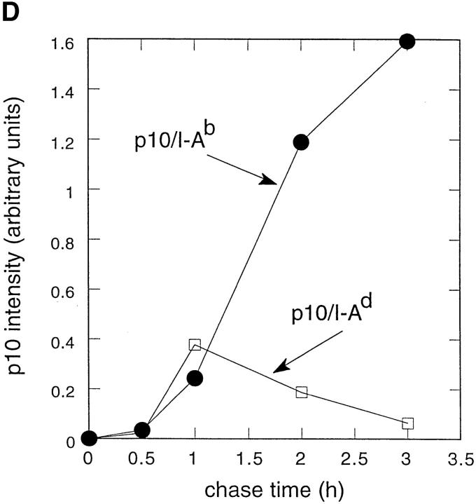 Leupeptin induces an accumulation of SDS- resistant I-A b Ii-p10 complexes. ( A ) Leupeptin induces the accumulation of 10-kD (Ii-p10) and 70-kD (p70) proteins that coprecipitate with I-A b . I-A b –expressing A20 cells were pulsed for 20 min with [ 35 S]methionine and chased at 37°C for the indicated times in the presence or absence of 2 mM leupeptin. After lysis, the I-A b molecules were immunoprecipitated using the Y3P mAb. The samples were not boiled before SDS-PAGE. Labeled class II molecules were not detected before 30 min of chase because the Y3P mAb used for immunoprecipitation does not detect immature αβ dimers complexed with intact Ii chain. ( B ) p70 represents SDS-stable complexes containing class II α and β chains and a 10-kD protein. After a 20-min pulse and 4-h chase with or without 2 mM leupeptin (lanes Lp and C , respectively), class II molecules were immunoprecipitated using the Y3P mAb, and the samples were boiled ( B ) or not boiled ( NB ) before SDSPAGE. After boiling, p70 dissociated quantitatively into monomers corresponding to αβ and Ii-p10. ( C ) p70 represents SDS-stable I-A b αβ–Ii-p10 complexes. After a 20-min pulse and 4-h chase in the presence of leupeptin, class II molecules were immunoprecipitated with either anti–I-A b (Y3P) or anti–Ii chain cytoplasmic domain (IN-1) mAbs. While both antibodies precipitated the p70 complex, only anti–class II mAb precipitated the 60-kD SDS-stable compact dimer. Thus, p70 but not compact dimers are complexed with Ii chain or Ii chain fragments (i.e., Ii-p10) that contain the Ii chain cytoplasmic domain. ( D ) Kinetics of association between Ii-p10 and I-A b or I-A d . Pulse-chase experiments were performed as above using A20 cells expressing only I-A d or expressing both I-A d and I-A b . I-A d or I-A b –containing complexes were then immunoprecipitated using specific mAbs (Y3P and MKD6, respectively), and the amounts of Ii-p10 associated to the class II molecules were quantified by phosphorimaging. The association of Ii-p10 with I-A b persisted throughout the chase period, while Ii-p10–I-A d complexes appeared only transiently.