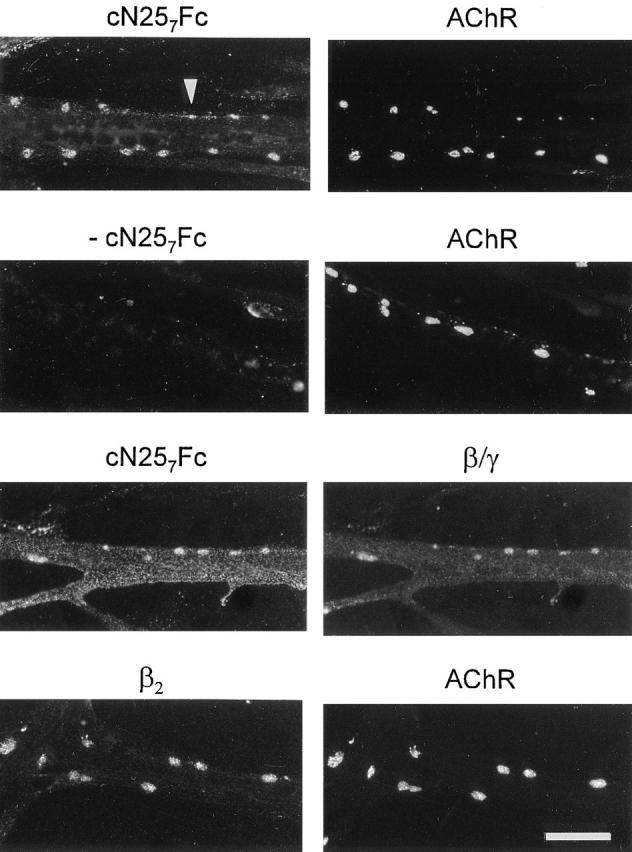 Binding sites for agrin on cultured chick myotubes colocalize with AChRs and laminin. Cultured chick myotubes were induced to form AChR clusters with 200 nM c21 B8 . Simultaneously, 20 nM cN25 7 Fc were included. AChR aggregates were stained by rhodamine–α-bungarotoxin, and cN25 7 Fc bound to the myotubes was visualized with biotinylated goat anti–mouse IgG followed by fluorescein-conjugated streptavidin. cN25 7 Fc is concentrated in AChR clusters and is distributed along the edges of the myotubes ( arrowhead ). No staining is seen in the absence of this fragment (− cN25 7 Fc). Consistent with the idea that cN25 7 Fc binds to laminin, the distribution of myotube-bound cN25 7 Fc resembles the staining pattern obtained with anti-β/γ-specific antiserum 648 ( β / γ ). The β2 chain of laminin, also called s-laminin, is concentrated in AChR clusters. In light of the colocalization of cN25 7 Fc and AChR clusters, laminin-4 (α2, β2, γ1) is a binding partner of agrin in these clusters. Bar, 40 μm.