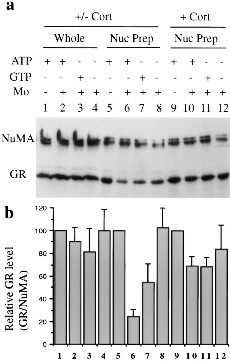 ( a ) Western blot analysis of molybdate-stimulated in vitro GR nuclear export. (Lanes 1–8 ) GrH2 cells treated with corticosterone ( Cort ) for 1 h and then withdrawn from hormone for 20 min. (Lanes 9–12 ) GrH2 cells treated with corticosterone for 80 min. Harvested cells were permeabilized in suspension, and aliquots of intact nuclei were incubated with 50 μl of reaction mixture containing 10 mg/ml BSA in transport buffer, 4 mM ATP (lanes 1 , 2 , 5 , 6 , 9 , and 10 ), or 4 mM GTP (lanes 3 , 7 , and 11 ) with an energy-regenerating system, and 20 mM sodium molybdate where indicated (lanes 2 , 3 , 4 , 6 , 7 , 8 , 10 , 11 , and 12 ). After a 20min incubation at 30°C, each nuclear suspension was split into two identical samples. One sample was subjected to SDS-PAGE directly (lanes 1–4 , Whole ). The other identical sample was washed, and nuclei were recovered and subjected to SDS-PAGE for detection of the remaining nuclear GR (lanes 5–12 , Nuc Prep ). ( b ) Quantification of GR levels observed in Western blots by densitometry. GR levels were normalized to the internal control NuMA protein. (Bars 1–8 ) Average of four experiments; (bars 9–12 ) average of two experiments. Whole , whole reaction mix; Nuc Prep , nuclear pellets.