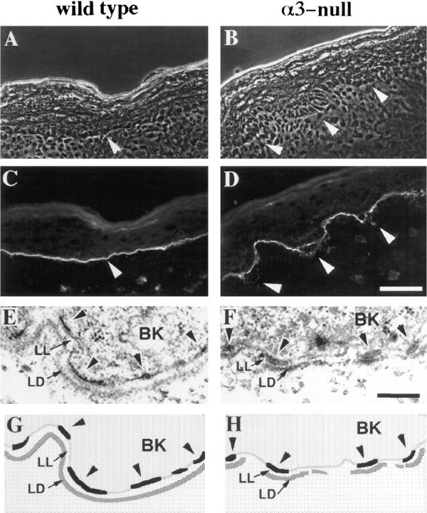 The basement membrane in α3-null skin is disorganized. ( A–D ) Frozen skin sections from wild-type ( A and C ) or α3-null ( B and D ) mice were viewed by phase contrast ( A and B ) or stained by immunofluorescence with an antiserum against laminin-5 ( C and D ). Arrowheads point to areas of laminin-5 staining at the basement membrane in the wild-type skin ( A and C ) or at regions of disorganized basement membrane in α3-null skin ( B and D ). ( E and F ) Electron micrographs comparing ultrastructure of the basement membrane zone in wild-type ( E ) and α3-null ( F ) skin. ( G and H ) Schematic illustration of relevant structures seen in E and F. BK , basal keratinocyte; LL , lamina lucida; LD , lamina densa; arrowheads point to hemidesmosomes along the basal aspect of the plasma membranes in the basal keratinocytes. Bars: ( D ) 50 μm; ( F ) 200 nm.