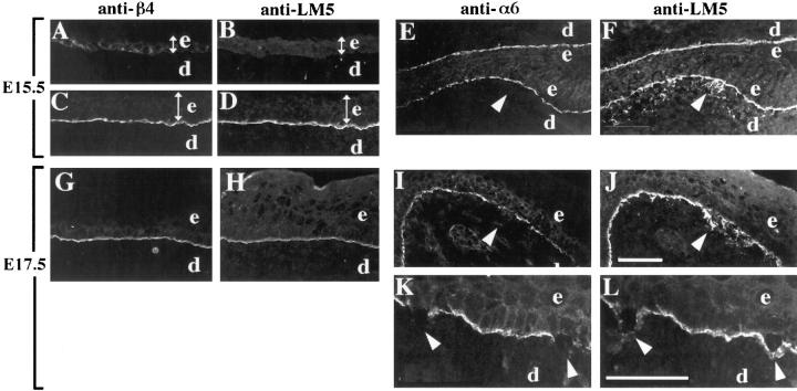 Distributions of α6β4 and laminin-5 in the developing skin of normal and α3-null embryos. Frozen sections from mouse embryonic skin at days E15.5 ( A–F ) or E17.5 ( G–L ) of development were stained by double-label immunofluorescence with either monoclonal antibody 346-11A against the β4 integrin subunit ( A , C , and G ) or GoH3 monoclonal antibody against the α6 integrin subunit ( E , I , and K ), and anti–laminin-5 serum ( B , D , H , and F , J , L , respectively). Control sections were from wild-type embryos ( A–D ) or heterozygous embryos ( G and H ). In wild-type E15.5 embryos, α6β4 and laminin-5 codistributed to the basement membrane zone in more stratified regions ( C and D ), but not in less stratified regions ( A and B ); the width of the epidermis in each panel is indicated by a double-headed arrow. In α3-null embryos at E15.5 ( E and F ) and E17.5 ( I and J ), arrowheads point to areas of laminin-5 staining in areas of disorganized basement membrane, below the α6-positive basal keratinocytes; the skin in E and F is folded back on itself. ( K and L ) Higher magnification of α3-null skin at E17.5 showing α6-negative, basal keratinocytes that have separated from the laminin-5 positive basement membrane, marked by arrowheads. e , epidermis; d , dermis. Bars: (shown in J for A–J ) 50 μm; and (in L for K and L ) 50 μm.