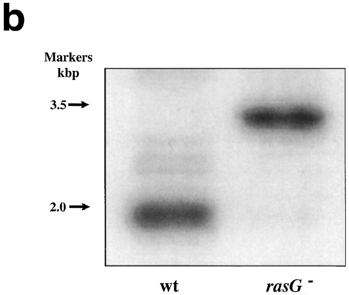 Disruption of the rasG gene. ( a ) Schematic representation of the cloning strategy employed to disrupt the rasG gene. A 1.7-kb fragment encoding the cDNA for the blasticidin resistance gene ( bsr ) driven by the constitutive actin15 promoter was inserted by homologous recombination into the rasG promoter between the promoter and the ATG start codon. A probe from the rasG coding sequence ( shaded bar ) was used to detect correct disruptants by Southern blotting of genomic DNA. The expected bands in the parental strain and disruptants are indicated by dotted lines. ( b ) Southern blot of rasG − and wild-type parental genomic DNA. Nuclear DNA from strains IR15 ( rasG − ) and <t>AX2</t> ( wt ) was digested with EcoRI and HindIII, separated on an 0.8% agarose gel, blotted onto nylon, and probed with the rasG coding sequence (see above). The 1.9-kb parental band and 3.2-kb rasG − disrupted band are marked. ( C ) Western blot of rasG − and AX2 wild-type cells. Whole cell lysates were separated by PAGE using a 15% acrylamide gel, blotted onto <t>PVDF,</t> and probed with the general Ras antibody Y13-259 ( left ) and a RasG specific antibody ( right ). Y13-259 recognizes several different Dictyostelium Ras proteins with varying efficiency.