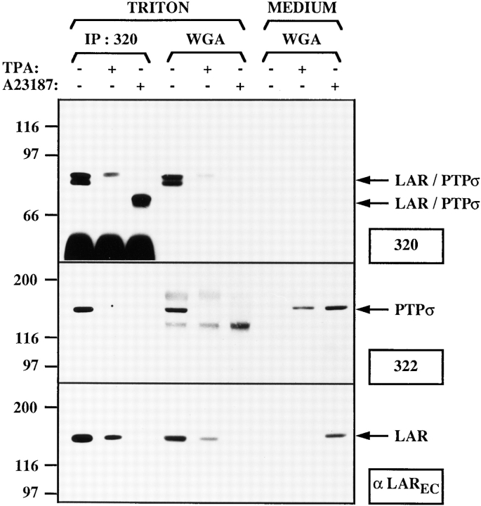 Shedding of LAR and PTPσ E subunits in A431 cells. A431 cells were starved for 2 d, washed once with starvation medium, and treated with or without A23187 (10 −5 M, 1 h) or TPA (1 μM, 40 min). Cell lysates ( TRITON ) were either immunoprecipitated with antiserum specific for LAR and PTPσ (IP:320, 0.9 mg protein) or were bound to WGA-sepharose beads (WGA, 0.6 mg protein). Proteins of the tissue culture supernatant of these cells ( MEDIUM , corresponding to 1.5 mg protein of cell lysate) were bound to WGA-sepharose beads ( WGA ). Immunoprecipitates and WGA-bound proteins were separated by 8% SDS-PAGE, transferred to nitrocellulose, and analyzed by immunoblotting of the membrane with antiserum specific for the COOH terminus of LAR and PTPσ ( 320 ), the NH 2 terminus of PTPσ ( 322 ), or the COOH terminus of the LAR E subunit ( αLAR EC ). Arrows at the right indicate the position of the LAR or PTPσ subunits.