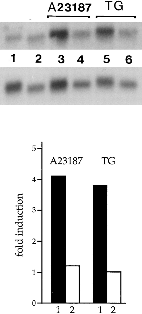 Cycloheximide inhibits the A23187- and thapsigargin-dependent increase of calreticulin mRNA levels. Total RNA was isolated from nontransfected NIH/3T3 cells that had been incubated for 16–18 h with 7 μM A23187 or 100 nM thapsigargin, and either with or without cycloheximide. The RNA was separated electrophoretically on a formaldehyde-agarose gel, blotted onto Hybond N nylon filters, and hybridized with cDNA probes encoding mouse calreticulin and G3PDH as described in Materials and Methods. ( Top ) Autoradiogram of a Northern blot probed with calreticulin and the G3PDH cDNAs. (Lane 1 ) Control cells; (lane 2 ) cells incazxubated with 100 μM cycloheximide; (lane 3 ) A23187-treated cells; (lane 4 ) A23187- and cycloheximide-treated cells; (lane 5 ) thapsigargin-treated cells; (lane 6 ) thapsigargin- and cycloheximide-treated cells. ( Bottom ) The abundance of calreticulin mRNA (calreticulin mRNA/G3PDH mRNA ratio) was determined using Phosphorimager analysis of the Northern blots. ( Filled bars ) Cells treated with A23187 or thapsigargin in the absence of cycloheximide; ( open bars ) cells pretreated with 100 μM cycloheximide for 2 h followed by incubation with either A23817 or thapsigargin. TG , thapsigargin.