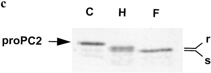 Bafilomycin A1 effect on proPC2 and 7B2 maturation and binding. ( a ) Bafilomycin A1 prevents the removal of the proPC2 propeptide. AtT-20 cells that express proPC2 alone or proPC2 and 7B2 were labeled for 10 min and directly extracted or chased for 120 min before extraction in the presence or absence of 1 μM bafilomycin A1. PC2 was immunoprecipitated. ( b ) Bafilomycin A1 does not affect 7B2 cleavage and binding to proPC2. AtT-20 cells that express 7B2 and PC2 were labeled for 10 min and directly extracted or chased for 30 min before extraction. 7B2 was immunoprecipitated under native conditions. ( c ) Bafilomycin A1 does not inhibit transport to the Golgi. AtT-20 cells that express 7B2 and PC2 were labeled for 10 min and chased for 120 min before extraction. PC2 was immunoprecipitated, denatured, and digested under control conditions ( C ) or with endoglycosidase H ( H ) or N -glycanase F ( F ).