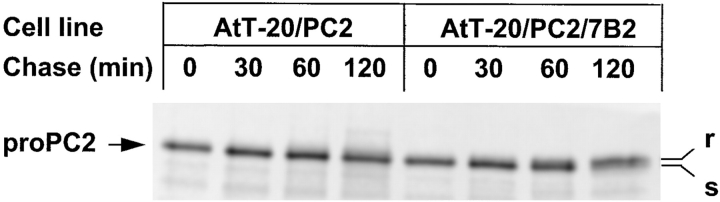 7B2 increases proPC2 transport to the Golgi. AtT-20 cells expressing PC2 alone or PC2 and 7B2 were labeled for 10 min and chased for the indicated time periods in the presence of 1 μM bafilomycin A1. PC2 was immunoprecipitated, denatured, and digested with endoglycosidase H. r indicates the position of endoglycosidase H–resistant proPC2, and s the position of endoglycosidase H–sensitive proPC2.
