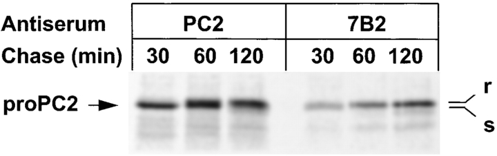 The 7B2-proPC2 complex is not accumulated in the ER but rapidly transported to the Golgi. AtT-20 cells expressing PC2 and 7B2 were labeled for 10 min and chased for the indicated times in the presence of 1 μM <t>bafilomycin</t> A1. PC2 and 7B2 were immunoprecipitated under native conditions, denatured, and digested with endoglycosidase H.