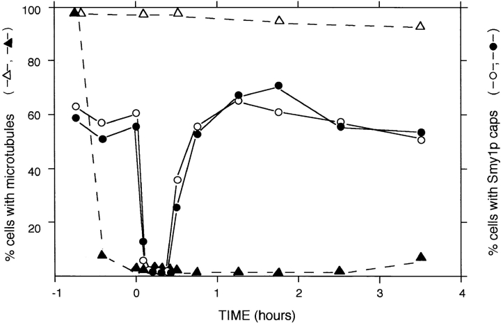 Smy1p caps can form in cells lacking microtubules. cdc4 / cdc4 diploid cells (strain 314D5) growing exponentially in YM-P at 24°C were shifted to restrictive temperature (36°C) and incubated for 120 min. By this time, most cells had produced one or two abnormally elongated buds. 15 μg/ml nocodazole ( closed symbols ) or carrier DMSO alone ( open symbols ) was added, and after an additional 45 min of incubation, cells were osmotically shocked (at 0 h) by addition of 0.4 M NaCl (using a 5-M stock). At each time point, samples were processed for indirect immunofluorescence microscopy, and at least 200 cells were scored for the presence of cytoplasmic microtubules ( triangles ) or Smy1p caps ( circles ). As observed previously, nocodazole treatment abolished most cytoplasmic microtubules in