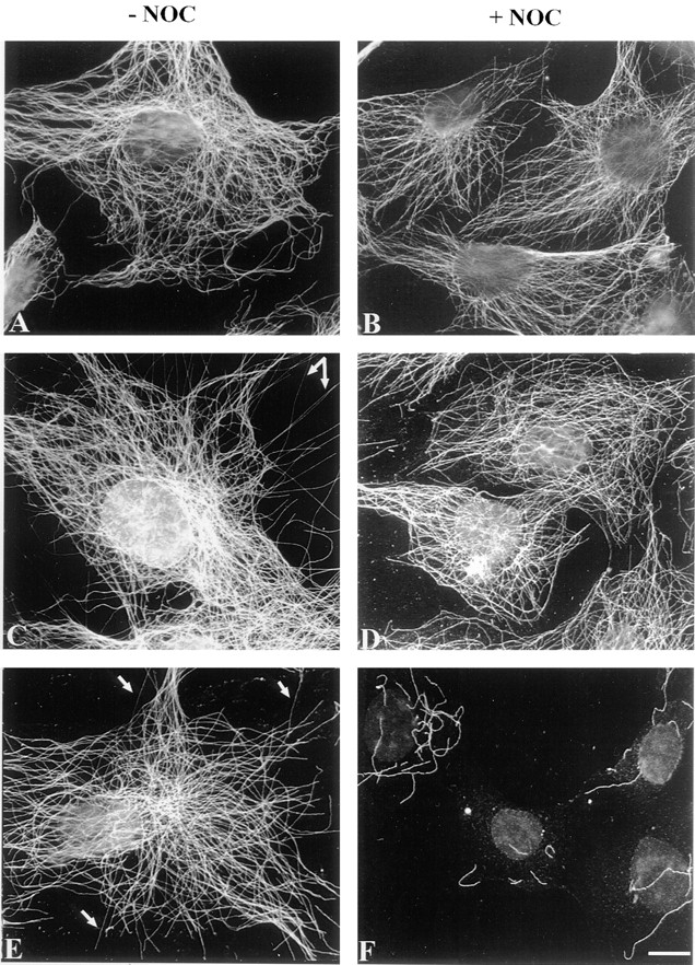 Reconstitution of microtubule sensitivity to nocodazole action in permeabilized NIH 3T3 cells. ( A–F ) Immunostaining of interphasic permeabilized NIH3T3 cells with tubulin antibody mAb YL1/2. Cells were permeabilized and then incubated for 30 min at 34°C with NIH3T3 cell extracts supplemented with 5 μM pure tubulin in the presence of: ( A ) no addition; ( B ) 20 μM nocodazole ( Noc ); ( C ) ATP-regenerating system; ( D ) ATP-regenerating system and 20 μM nocodazole; ( E ) ATP-regenerating system and 5 μM okadaic acid; and ( F ) ATP-regenerating system, 5 μM okadaic acid, and 20 μM nocodazole. Arrows show microtubule extensions arising from the polymerization of cell extract tubulin at the ends of interphase microtubules. Bar, 10 μm.
