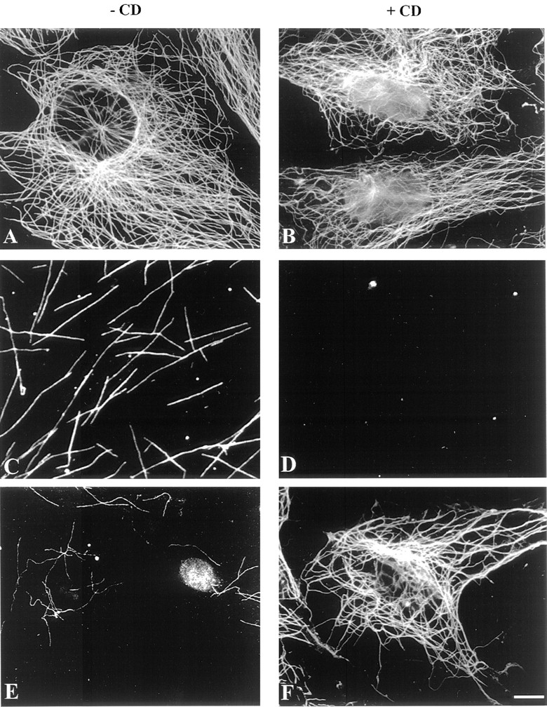 Inhibition of nocodazole action in the presence of added CD complex. ( A–B ) Immunostaining of interphasic permeabilized NIH3T3 cells with tubulin antibody mAb YL1/2. Cells were permeabilized and then incubated for 30 min at 34°C with NIH3T3 cell extracts supplemented with 5 μM pure tubulin, ATP-regenerating system and 5 μM okadaic acid in the absence of CD complex ( A ), or in the presence of 5 μM CD complex ( B ). ( C–D ) Immunofluorescence analysis of the microtubule content of control ( C ) or CD complex–supplemented ( D ) cell extracts. Cell extracts supplemented with 10 μM tubulin and ATP-regenerating system were incubated for 30 min at 30°C. Aliquots were then incubated for 30 min in the absence ( C ) or presence of 5 μM CD complex ( D ). Microtubules were then cross-linked, spun onto coverslips, and immunostained as described in Saoudi et al. (1995) . ( E–F ) Immunostaining of interphase-permeabilized NIH3T3 cells with tubulin antibody mAb YL1/2. Cells were permeabilized and then incubated for 30 min at 34°C with NIH3T3 cell extracts supplemented with 5 μM pure tubulin, ATP-regenerating system, 5 μM okadaic acid, and 20 μM nocodazole in the absence of CD complex ( E ) or the presence of 5 μM CD complex ( F ). Bar, 10 μm.