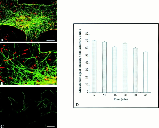 Assay of microtubule turnover in permeabilized NIH3T3 cells reconstituted with mammalian interphase cell extracts. Permeabilized NIH 3T3 cells were incubated at 34°C with TTL − cell extracts containing 1 μM purified Glu-tubulin, ATP-regenerating system, and 5 μM okadaic acid. ( A–B ) Double immunostaining of interphase microtubule arrays in permeabilized cells with Tyr-tubulin monoclonal antibody YL1/2 ( green ) and Glu-tubulin antibody ( red ) after a 30-min incubation with cell extracts. ( A ) The tubulin from the extract forms short tails on preexisting interphase microtubules, but fails to invade the interphase network. ( B ) 2× enlargement of a peripheral zone of the cell showing the Glu-tubulin tails at the ends of Tyr-microtubules. ( C ) Immunostaining of interphase permeabilized NIH3T3 cells with tubulin antibody mAb YL1/2. Cell extracts were supplemented with 20 μM nocodazole; this control experiment shows that microtubules were nocodazole-sensitive during microtubule turnover assay. Bars: ( A and C ) 10 μm; ( B ) 5 μm. ( D ) Quantitative analysis of microtubule turnover. Cells were incubated with TTL − cell extracts as described in A . At the indicated time points, cells were fixed and stained with Tyr-tubulin antibody, and the amount of Tyr-tubulin in interphase microtubule networks was quantified as described in Materials and Methods.