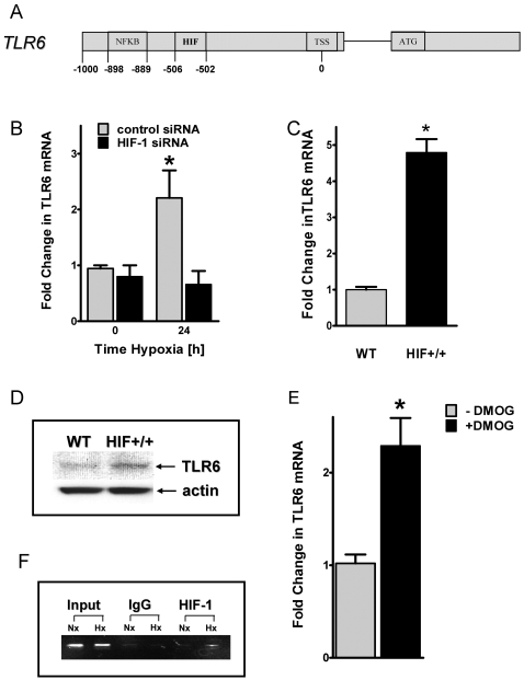 Influence of hypoxia inducible factor (HIF)-1α on TLR6 expression during hypoxia. A , Map of TLR6 promoter region showing positions of the putative HIF binding sites and the binding site for NFκB relative to the transcription start site (TSS). B , Stable transfected HMEC-1 monolayers containing either HIF-1α siRNA or control-siRNA were exposed to normoxia or hypoxia for indicated time points. Total RNA was isolated, and 1 µg of RNA was transcribed into first strand cDNA. Relative expressional levels of TLR6 transcripts were compared to normoxic controls by real-time RT-PCR. Data were calculated relative to internal control gene (ß-actin), and are expressed as fold change over normoxia±SEM, *, significant differences from normoxia and control cells. Results are derived from three different experiments in each condition. C , Total RNA of normoxic monolayers of either wildtype (WT) or oxygen-stable HIF-1α expressing (HIF +/+ ) HMEC-1 cells was isolated and realt-time RT-PCR was performed as described above. *, significant differences from wildtype cells. D , Western blot analysis of TLR6 protein of normoxic HMEC-1 wildtype (WT) and oxygen-stable HIF-1α expressing (HIF+/+) cells. The same blot was probed for ß-actin expression as a control for protein loading. E , HMEC-1 monolayers were treated with 1mM of dimethyloxalylglycine (DMOG) for 24 hours. Afterwards transcript levels of TLR6 where quantified by real-time RT-PCR as described above. *, significant differences from untreated cells. F , ChIP assay was utilized to examine HIF-1α binding to the TLR6 promoter in normoxic and hypoxic HMEC-1 cells. Reaction controls included immunoprecipitations using a nonspecific igG monoclonal antibody (IgG) and PCR performed using HMEC-1 DNA (input). An example of three experiments is shown.