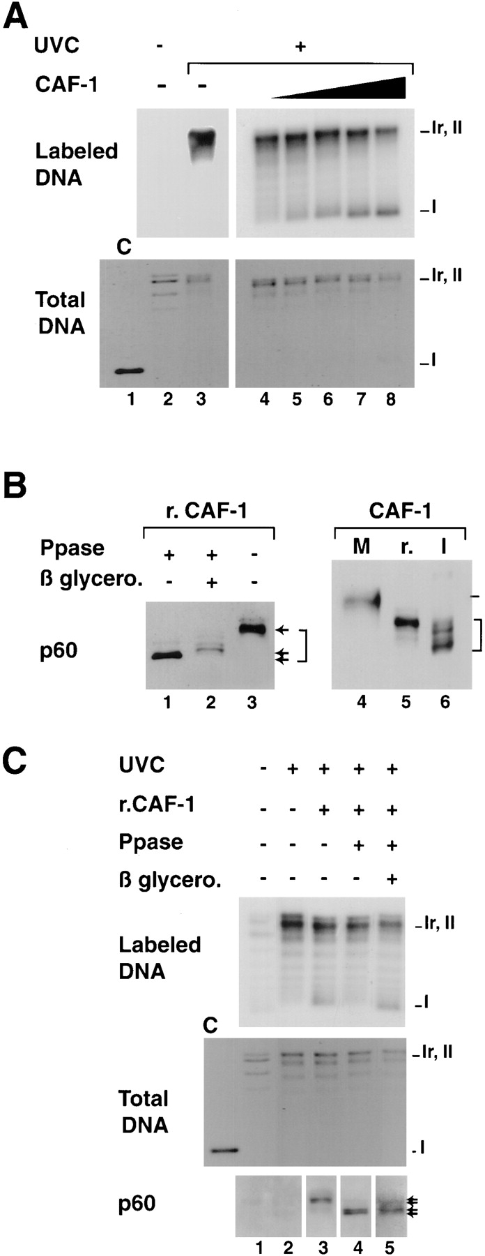 Titration conditions for recombinant CAF-1 to support nucleosome assembly during UV-induced synthesis and competence of various phosphorylated forms in the assay. ( A ) Plasmid DNA, either treated with UV-C at 500 J/m 2 (+) or not treated (−) were incubated in a cytosolic extract in the presence of [α- 32 P] dCTP. Complementation in the supercoiling assay was achieved with increasing amounts of recombinant CAF-1 ( solid triangle ), 0 ng (lanes 2 , 3 , and 4 ), 5 ng (lane 5 ), 10 ng (lane 6 ), 20 ng (lane 7 ), or 40 ng (lane 8 ). Deproteinized DNA was purified and analyzed by agarose gel electrophoresis. The incorporation of radiolabel due to the UV-dependent DNA synthesis was visualized by autoradiography ( Labeled DNA ) and the total population of DNA molecules by ethidium bromide staining of the gel ( Total DNA ). Plasmids were processed as indicated in Materials and Methods. The positions of the supercoiled (form I ), nicked (form Ir ), and closed circular (form II ) forms of plasmid DNA are indicated. Control supercoiled DNA was run in parallel (lane 1 ). ( B ) Recombinant CAF-1 was treated with Lambda phosphatase alone (lane 1 ), in the presence of β-glycerophosphate (lane 2 ) or mock treated (lanes 3 and 5 ), mitotic extract ( M ) and nuclear interphasic extract ( I ) were prepared as described (see Materials and Methods). All samples were processed for Western blot analysis and detection with the polyclonal anti–p60 antibody ( p60 ). Bracket , various phosphorylation forms. ( C ) The three sources of recombinant CAF-1 ( r.CAF-1 ): treated with Lambda phosphatase alone (lane 4 ), in the presence of β-glycerophosphate (lane 5 ), or mock treated (lane 3 ) (shown in B , left ) were used in the assay as described above. The amount added per reaction was 10 ng (defined as the critical amount in A ). The presence and amount of the phosphorylated p60 subunit of CAF-1 (exogenous and endogenous) at the end of each reaction was assessed by Western blotting using the polyclonal anti-p60 antibody ( p60 ). Asterisk , slowest migrating phosphorylated form of p60.