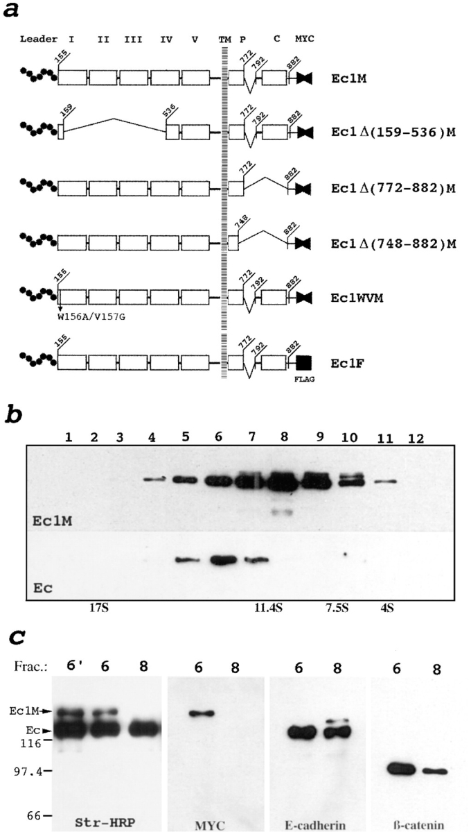 Schematic representation of human E-cadherin gene constructs ( a ) and sedimentation/coimmunoprecipitation analysis showing E-cadherin dimerization ( b and c ). ( a ) Five extracellular cadherin-like repeats (numbered I–V), the intracellular p120-binding site ( P ), the catenin-binding domain ( C ), and myc ( fused solid triangles ) or flag ( solid square ) epitopes are indicated. Deletions are depicted by brackets . Leader propeptide ( Leader ) is shown by the dotted line . Numbers show positions of the corresponding amino acids. ( b ) Fractions of the total lysate of the A-431 cells producing Ec1M were separated in a sucrose gradient. The fractions were then coimmunoprecipitated with anti-myc mAb and analyzed by immunoblotting with anti-myc and anti–E-cadherin mAbs for the presence of Ec1M ( Ec1M ) and endogenous E-cadherin ( Ec ), respectively. Sedimentation of the Ec1M–E-cadherin complex is the same as the plakoglobin–β-catenin complex (refer to Fig. 1 a ). ( c ) Surface proteins of Ec1M-expressing cells were biotinylated and then the lysate was separated by sucrose gradient and fractions were immunoprecipitated by anti–E-cadherin mAb. Only the 13 S (fraction 6 ) and 9 S (fraction 8 ) fractions are shown. Immunoprecipitates were analyzed by immunoblotting using streptavidin-HRP conjugate ( Str., HRP ), anti-myc ( myc ), anti– E-cadherin, and anti–β-catenin antibodies. Note that anti–E-cadherin antibody coimmunoprecipitates biotinylated Ec1M only in fraction 6 . This coimmunoprecipitation is stable after dissociation of the labeled cells into single-cell suspension (lane 6′ ). The absence of catenin biotinylation in E-cadherin–catenin complexes indicates specific incorporation of biotin only into surface proteins. Positions of endogenous E-cadherin ( Ec ) and Ec1M are indicated by arrows . Molecular weight markers are shown in kD.