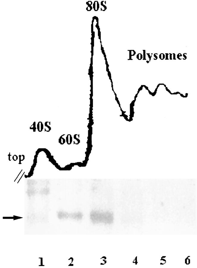 p27 BBP/eIF6 cosediments with 60S and 80S ribosomal subunits. Fractions collected after the sucrose gradient centrifugation (top) of extracts from strain ySP664 ( iih1 Δ GAL-Hsp27 BBP/eIF6 ), logarithmically growing in galactose-containing medium, were precipitated by TCA, and equal amounts of protein extracts were run on 12% acrylamide gels, transferred on immobilon-P membranes and probed with the anti–p27 BBP/eIF6 antiserum, followed by the ECL detection method (bottom). Note that p27 BBP/eIF6 (arrow) is highly enriched in the free 60S and 80S fractions, but clearly absent from the polysome fraction. The high molecular weight band in lane 1 is a nonspecific product recognized by secondary antibodies.