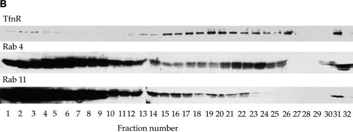 EEs and REs have distinct protein compositions. MDCK cells cotransfected with human TfnR and pIgR were grown on Transwell filters and crude postnuclear supernatants (including cytosol) were centrifuged using 10–20% Optiprep density gradients. (A) 125 I-Tfn was bound at 0°C and then internalized for 2.5 or 25 min as in Fig. 2 . Postnuclear supernatants were prepared and then centrifuged. Percent total radioactivity in each gradient is indicated for the 2.5-min time point (squares) and the 25-min time point (triangles). 125 I-Tfn peaks around fraction 5 cosediment with the basolateral plasma membrane marker alkaline phosphatase; more 125 I-Tfn was found in this region than in Fig. 2 because cells were not extensively acid washed before homogenization. EEs are distinguished by a peak at fraction 23 and REs by a peak at fraction 20. (B) Western blots of fractionated cells using antibodies to human TfnR, human rab4, and human rab11. Half of the entire volume of each fraction was loaded in each lane. TfnR was found in all fractions but is most abundant in the RE-containing fractions identified by the 25-min 125 I-Tfn peak. rab4 cosedimented most closely with the EE peak; rab11 was relatively depleted from these EE-containing fractions relative to higher density fractions more coincident with REs (TfnR, 25 min 125 I-Tfn). (C) Double label immunoelectron microscopy of endosomes isolated on Optiprep density gradients. Tfn receptor was labeled with 5-nm gold in both images (small arrowheads). Fraction 24 was additionally labeled for rab11 with 10-nm gold (large arrowheads). Fraction 27 was labeled for rab4 with 10-nm gold (large arrowheads).