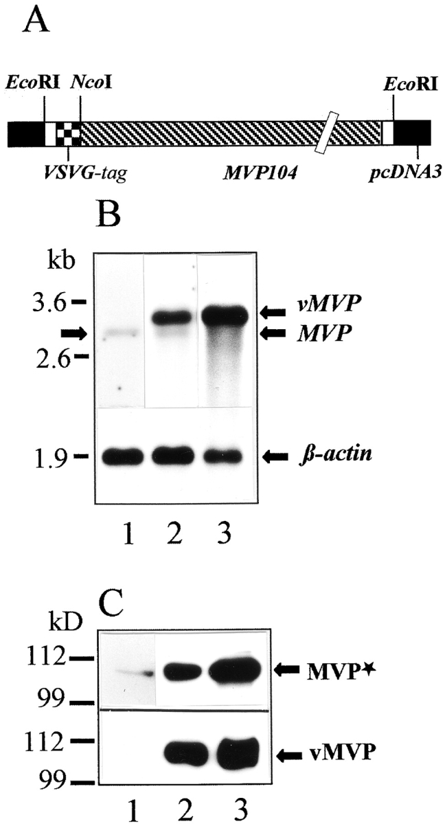Transient expression of rat vMVP in CHO cells. (A) Schematic drawing of the engineered construct denoted pvMVP for heterologous expression of rat MVP in mammalian cell lines is shown. Note that expression vector and cDNA sequence encoding MVP are not in scale. (B) Northern blot using a DIG-labeled RNA encoding rat MVP as a probe is shown. 800 ng of mRNA was applied per lane. Lane 1 shows mRNA isolated from nontransfected CHO cells; lane 2 shows mRNA from CHO cells transfected with pvMVP; and lane 3 shows mRNA from transfected CHO cells treated with sodium butyrate. The hybridization signal for β-actin (lower graph) served as a control. Arrows indicate the position of the endogenous MVP transcript (left and right), overexpressed vMVP, and β-actin (both right). The position of marker RNA is given in kilobases. (C) Western blot using total protein extract of CHO cells, polyclonal affinity-purified anti–rat vault antibody (upper graph), or anti-VSVG mAb (lower graph) is shown. (Lane 1) Nontransfected; (lane 2) pvMVP-transfected, and (lane 3) pvMVP-transfected and butyrate-treated cells. 30 μg of protein was applied per lane. Protein bands detected by anti-MVP antibody (MVP*) or anti-VSVG antibody (vMVP) are marked by arrows (right). Note, the anti-MVP antibody detects endogenous and recombinant MVP. The size of marker polypeptides is given in kilodaltons (left).