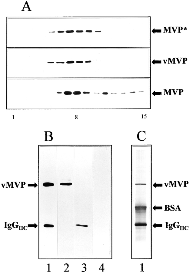 Recombinant MVP is assembled into vault particles: subcellular fractionation (A) and immunoprecipitation of VSVG-tagged major vault protein (B and C). (A) Western blot analysis of the sedimentation behavior of vaults derived from CHO cells on glycerol gradients is shown. The following are shown: (top) Immunodetection of endogenous and recombinant MVP (MVP*) of pvMVP-transfected CHO cells using the anti–rat vault antibody; (middle) immunodetection of vMVP using the anti-VSVG antibody. In the top and middle frames identical fractions were applied per lane. The bottom frame shows immunodetection of endogenous MVP derived from nontransfected cells using the anti–rat vault antibody. Note that both the amount of material loaded per lane as well as the exposure time was doubled in the bottom frame blot as compared to the top two (50:100 μg protein per gradient, 2:4 min exposure time). Fractions of 300 μl were collected from the gradient and analyzed by immunoblotting. The number of fraction is indicated below the graph: starting fraction on top of the gradient (1) vault-enriched fraction (8) and bottom fraction (15). (B) Western blot and (C) silver staining of immunoprecipitate using anti-VSVG mAb and anti–mouse IgG-coated magnetic beads as a solid carrier (lane 1). Bands comprising minor vault proteins are not visible. Parent fraction of transfected cells before immunoisolation (lane 2). Immunoprecipitate of nontransfected CHO cells applying an identical experimental procedure as for transfected cells (lane 3). Parent fraction of nontransfected cells before immunoisolation (lane 4). Positions of vMVP, BSA, and heavy chains of mouse immunoglobulins (IgG HC ) are indicated.