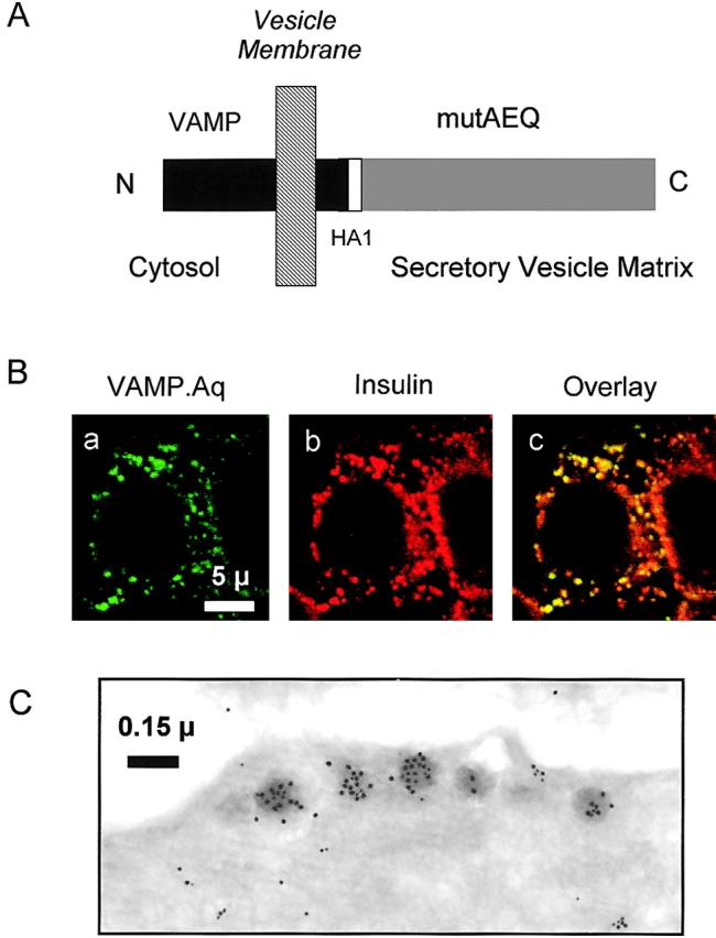 Localization of VAMP.Aq. (A) Schematic map of VAMP.Aq. VAMP2 and aequorin cDNAs were fused via an HA1 epitope tag linker (Materials and methods) in order to localize mutated aequorin to the secretory vesicle lumen. (B) Confocal immunolocalization of VAMP.Aq. MIN6 cells were transfected with VAMP.Aq and stained with (a) mouse anti-HA1 monoclonal antibody (1:200) and (b) guinea pig <t>antiinsulin</t> antibody (1:150). (c) Extent of colocalization. (C) Immunoelectron microscopic localization of insulin (15-nm gold) or VAMP.Aq (anti-HA tag, 10-nm gold). Morphometric analysis of separate sections from 10 singly labeled cells revealed the following distribution of anti-HA gold particles: dense core vesicles, 36; ER, 2; Golgi apparatus, 0; plasma membrane, 16; endosomes, 19.