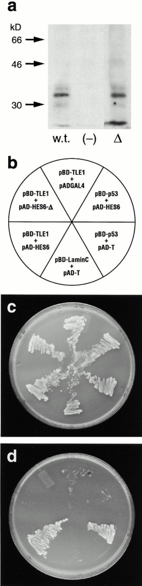 HES6 interacts with TLE1 in yeast cells. Yeast two- hybrid protein interaction assay. (a) Immunoblots of extracts from yeast cells transfected with pAD–HES6 (w.t.) or pAD–HES6-Δ (Δ) confirmed that both fusion proteins are produced in yeast cells. Left lane, molecular size markers in kiloDaltons. (b) Bait and target plasmids used to cotransfect yeast. BD, binding domain of GAL4; AD, activation domain of GAL4. The positive controls, pBD-p53 and pAD-T, were supplied with Stratagene's HybriZAP kit. (c) Growth on Leu − , Trp − plates. (d) Growth on Leu − , Trp − , and His − plates. The ability of the transformed cells to grow on His − medium indicates that a transcriptionally competent GAL4 complex was reconstituted due to the interaction between TLE1 and HES6. Note that the interaction requires the WRPW motif, as the HES6-Δ deletion mutant, deprived of this motif, did not interact with TLE1 to support growth on His − plates.