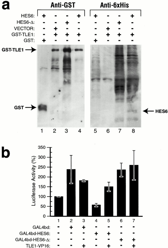 HES6 binds TLE1 in mammalian cells. (a) C2C12 myoblasts were cotransfected with expression vectors for GST epitope–tagged TLE1 and 6xHis epitope–tagged HES6. Cell extracts were precipitated with glutathione-Sepharose beads and analyzed by Western blotting using anti-GST (lanes 1–4) or anti-6xHis (lanes 5–8) antibodies. HES6, but not HES6-Δ, was coprecipitated with GST–TLE1. The empty GST expression <t>vector</t> (lanes 1 and 5) and empty HES6 expression vector, pEBVHis (lanes 2 and 6), served as negative controls for the specificity of the interaction. (b) Mammalian <t>two-hybrid</t> <t>assay.</t> 293 cells were cotransfected with the p5xGAL4UAS-SV40-luc reporter and pcDNA3-GAL4bd, pcDNA 3-GAL4bd–HES6, pcDNA3-GAL4bd–HES6-Δ, or pTLE1–VP16, alone or in combination, as indicated below the graph. Cells were collected 24 h after transfection and luciferase activity was assayed. Results are expressed as a percentage of expression relative to cells transfected with the reporter and empty vector alone. Means ± SD of three experiments are shown.