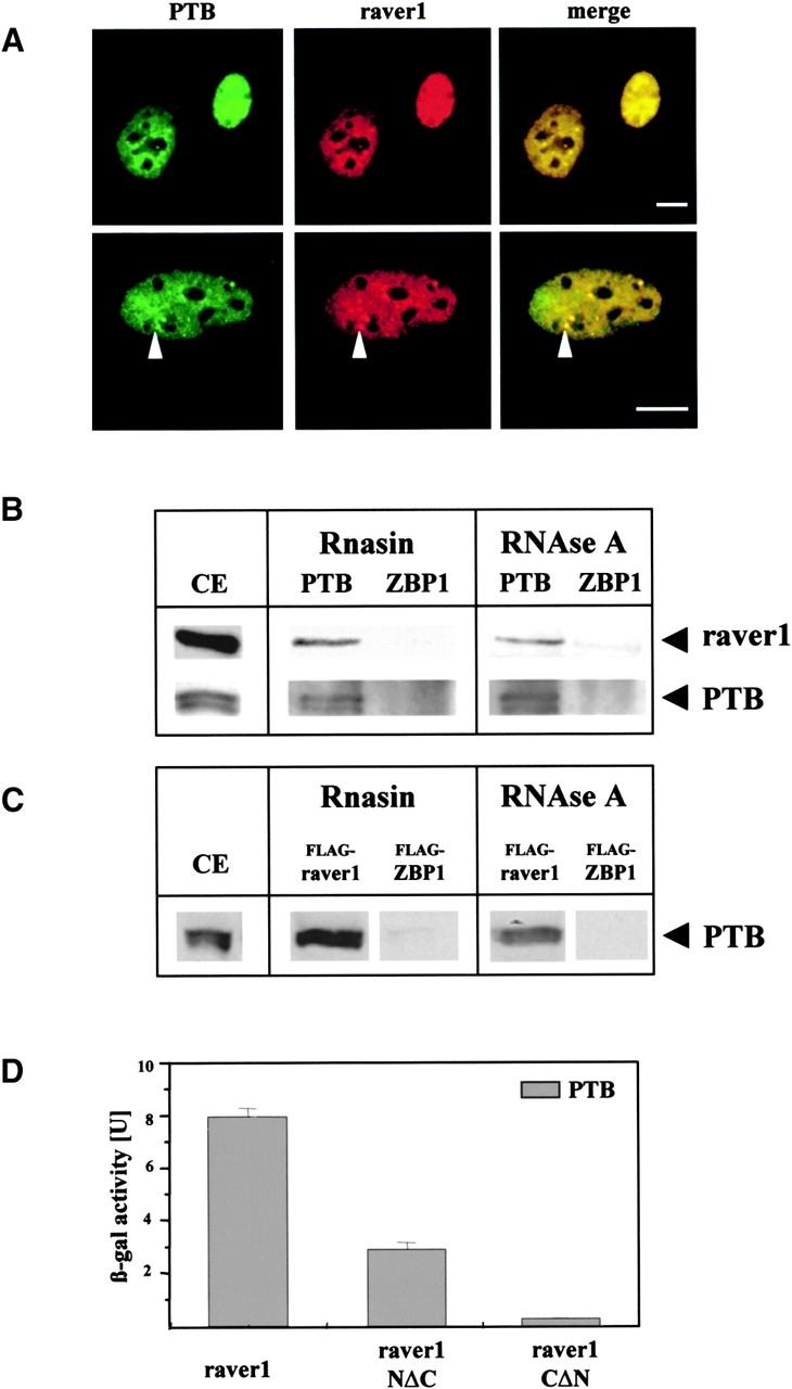 Raver1 interacts with the PTB/hnRNPI protein. (A) Colocalization of PTB/hnRNPI and raver1 in C2C12 myoblasts as seen by double immunofluorescence with the respective monoclonal antibodies. Both proteins are localized in the nucleus and highly concentrated in the perinucleolar bodies (arrowheads). (B and C) Coprecipitation of endogenous raver1 with PTB/hnRNPI from nontransfected C2C12 myoblasts (B) and HeLa cells transfected with FLAG-equipped raver1 or FLAG-ZBP1 (C), and analysis of the precipitates by SDS-PAGE and immunoblotting. Antibodies used for immunoprecipitation (against PTB/hnRNPI, raver1, ZBP1, and FLAG) are indicated on the top; those used for immunoblots are shown on the right. Cell extracts were treated with RNAsin or with RNAse A to either protect or remove putatively bound RNA. Note that PTB/hnRNPI and raver1 coprecipitate independently of RNA, whereas ZBP1 does not form complexes with raver1 under either experimental condition. CE, immunoblots of the total extracts, to demonstrate the expression of the relevant proteins. (D) Liquid β-galactosidase assay of the yeast two-hybrid system to identify the raver1 domain interacting with murine PTB/hnRNPI. β-Galactosidase activity was found highest with intact raver1, and some activity remained with the COOH-terminal deletion fragment, whereas the NH 2 -terminal deletion fragment was inactive. Means and calculated standard deviation of three independent experiments are indicated. Bars, 10 μm.