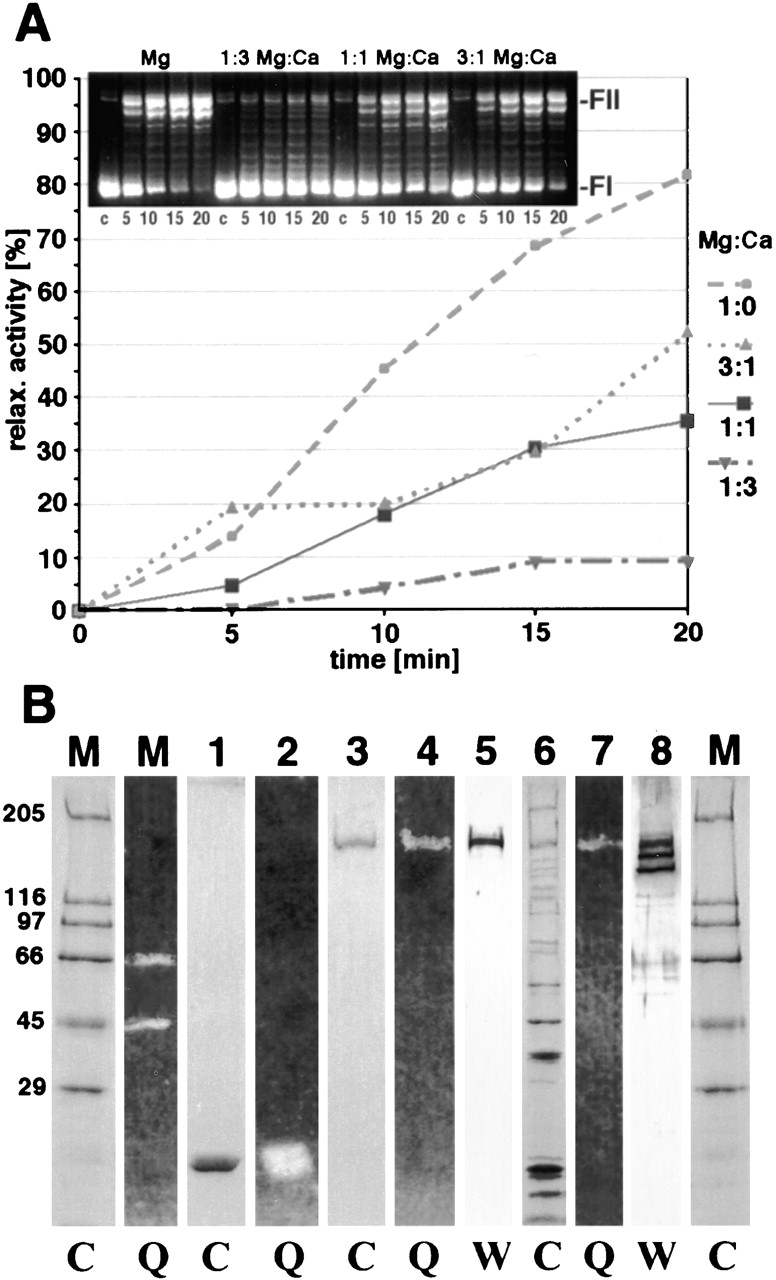 Topo II directly binds Ca 2 + , which inhibits the catalytic activity. (A) Topo II relaxation activity inhibited by Ca 2 + in vitro. Supercoiled plasmid DNA and 1 U of purified human Topo II in the presence of different Mg 2 +/Ca 2 + ratios were incubated for 5–20 min at 30°C. The inlay shows a 1.5% agarose gel of the relaxation experiments with supercoiled (FI) and relaxed (FII) forms after incubation with Topo II. Note the 1:3 Mg 2 +/Ca 2 + ratio detected at metaphase chromosomes using SIMS reduced the Topo II relaxation activity > 90%. (B) Direct detection of Ca 2 +-binding proteins: SDS gradient gels were stained with Coomassie blue (C) (M, marker, 1,3, and 6) or transferred to PVDF membranes, incubated with 1 mM CaCl 2 and then with 1 mM quin-2 (Q) and photographed after illumination with UV light (M, 2,4, and 7) or incubated with Topo II antibodies (5) or with Topo II, hCAP-C and ScII-specific antibodies (8) in Western analysis (W). Protein marker (M) (Sigma-Aldrich) represents 0.35 μg of each protein: rabbit myosin (205 kD), E. coli galactosidase (116 kD), rabbit phosphorylase b (97.4 kD), bovine albumin (66 kD), egg albumin (45 kD), and bovine carbonic anhydrase (29 kD). As a positive control, we used 0.75-μg bovine calmodulin (Sigma-Aldrich) (17 kD) (1 and 2). (Lanes 3,4, and 5) 5 U of purified human Topo II (TopoGen) are shown. Lanes 6, 7, and 8 represent purified fractionated IM chromosomes.
