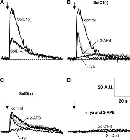 Examples of K + -evoked calcium increase in SolC1(−) and SolD(+) myotubes: effects of ryanodine and 2-APB. Fluorescence rise from fluo-4–loaded myotubes was recorded as described in MATERIALS AND METHODS. During the recording, high K + -containing solution (47 mM) was perifused near the analyzed myotubes (black arrows), and measurements were stopped after recovery to basal levels. (A) Representative examples of K + -evoked calcium increase in a SolC1(−) and a SolD(+) myotube in control conditions. Examples of K + -evoked calcium increase in the presence of ryanodine (+rya, 100 μM) or 2-APB (+2-APB, 50 μM) in SolC1(−) (B) and in SolD(+) (C). The gray curve represents the sum of the curve in the presence of ryanodine and the curve in the presence of 2-APB in SolC1(−) (B) and in SolD(+) (C). (D) Fluorescence signals obtained in SolC1(−) and SolD(+) myotubes with a combined incubation with ryanodine and 2-APB (+rya +2-APB).