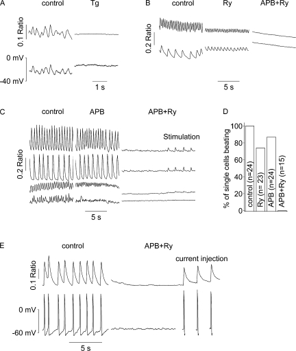 [Ca 2+ ] i oscillations originate from the SR. (A) Application of thapsigargin (2 μM) led to a complete halt of both [Ca 2+ ] i (top) and E m (bottom) oscillations in patch-clamped cells. (B–E) Spontaneous activity ([Ca 2+ ] i oscillations or transients, left) in non (B and C) or perforated patch-clamped (E) and Fura-2-AM–loaded cardiomyocytes was unaltered in the majority of cells upon application of ryanodine (20 μM; B, middle) or 2-APB (100 μM; C, middle), whereas application of both blocked spontaneous activity in all cells (B, C, and E, right). The traces of individual cells (2 in B and 4 in C) were vertically shifted to be better visible. Cells with [Ca 2+ ] i transients could still be field stimulated (C, right, two top traces); APs could be evoked using brief (2-ms) current injections (E, right). (D) Analysis of the experiments shown in B and C.